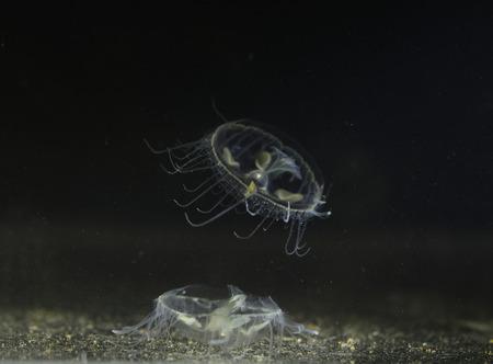 freshwater: Freshwater jellyfish in river