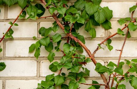 Spring Leaves Hydrangea Shrub. Hydrangea climbing a white brick wall. 免版税图像