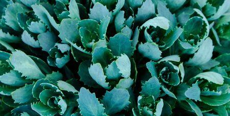 Green leaf texture. Leaf texture background. Succulentus. Reklamní fotografie