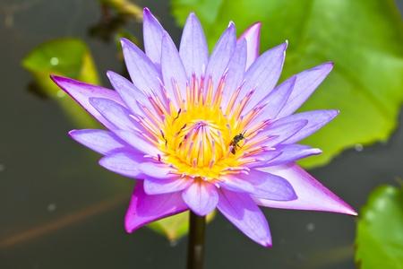 Bee on lotus photo