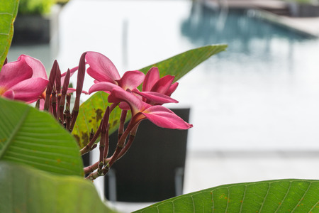 pink flower on swimming pool in condo building Stock Photo