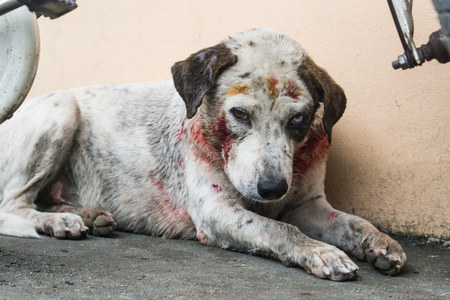 White dog injury after bite., Stray dog attack dog., white dog have blood after bite and hurt. Imagens