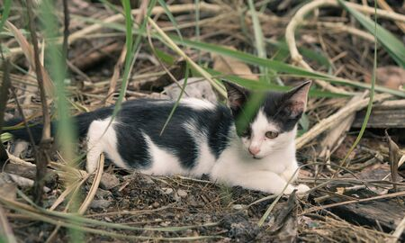 Cat asia kitty breed sitting on the grass green., vintage style Stock Photo