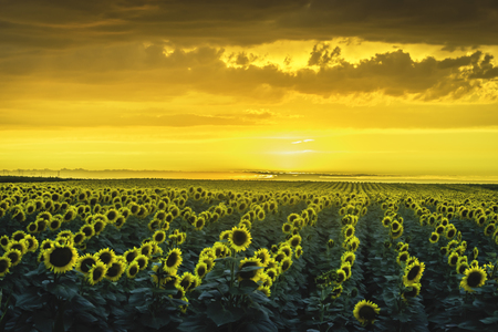 Sunflower field at sunset dramatic
