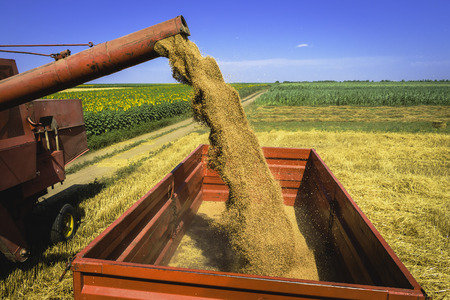 Harvester pouring and unloading wheat grain into a red trailer with wheat, corn field in background Stock Photo