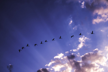 Flock of swans flying against blue sky during sunset