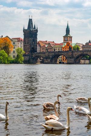 Swans on Vltava river in Prague, Czech Republic