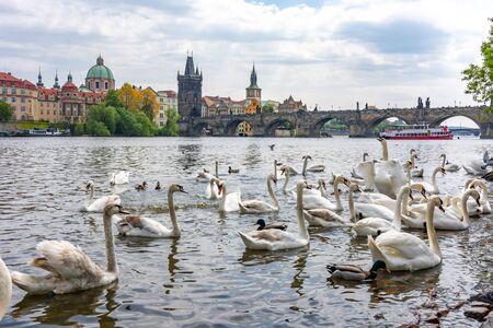Swans on Vltava river in Prague, Czech Republic Reklamní fotografie