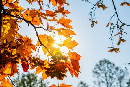 Maple leaves under evening sun in autumn Stockfoto