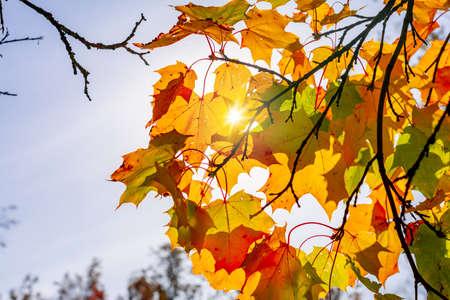 Maple leaves in autumn under sun rays Stockfoto