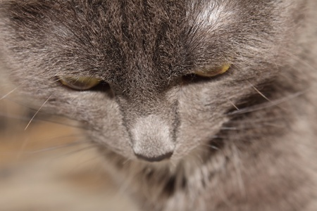 omission: The omission of the person cat breeds Russian Blue