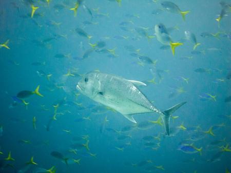 damselfish: Fish in Raja Ampat