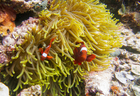 Clownfish in Raja Ampat