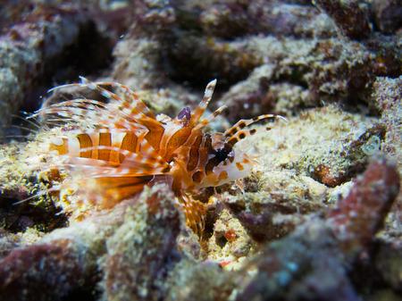 lionfish: Baby lionfish in Raja Ampat