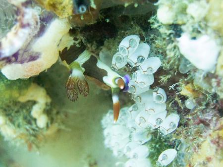 nudibranch: Nudibranch in Raja Ampat Stock Photo