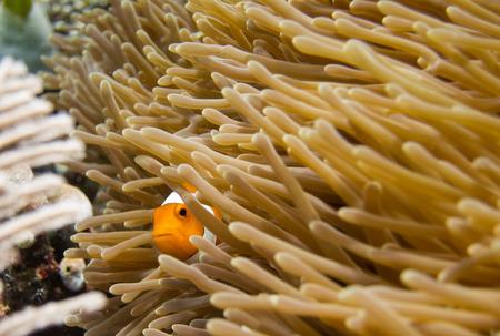 peekaboo: Clownfish peeking out in Raja Ampat