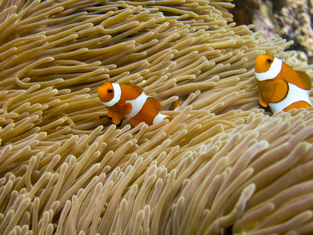clownfish: Clownfish in Raja Ampat