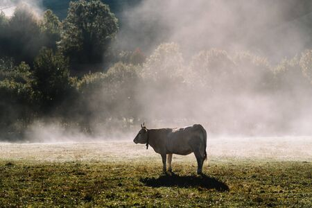 Typical Navarrese cow in a green meadow with the mist of dawn in the Pyrenees Stock Photo