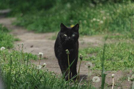 Black cat walking in the grass in summer day 免版税图像