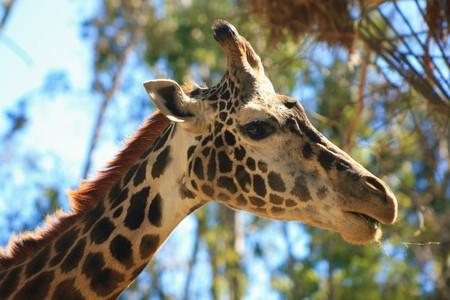 ungulate: Graceful Giraffe