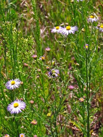 perennials: Purple Wildflowers