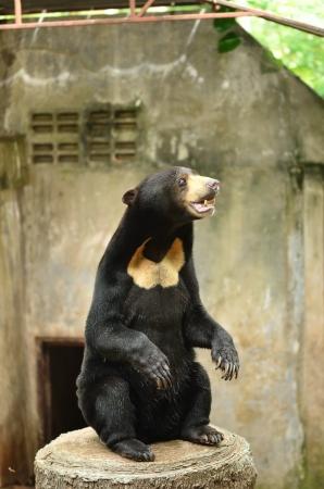 oso negro: Oso negro de pie