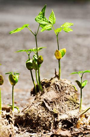 dung: stem grow on elephant dung