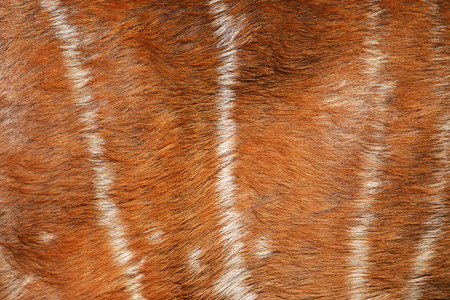 axis deer: texture of real axis deer fur