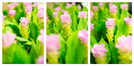 Field of pink siam tulip flowers in garden 版權商用圖片