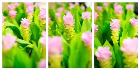 Gebied van roze siam tulp bloemen in de tuin Stockfoto