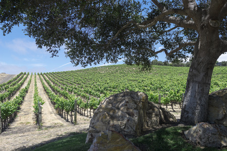 grape vines: Rows of grape vines at a winery Stock Photo