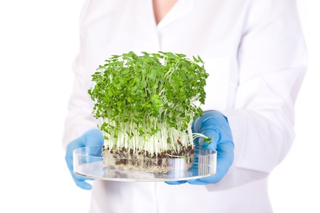 genetically modified organisms: laboratory assistant holds small lab tray with plant on it, blue lab gloves and lab coat, studio shoot isolated on white background