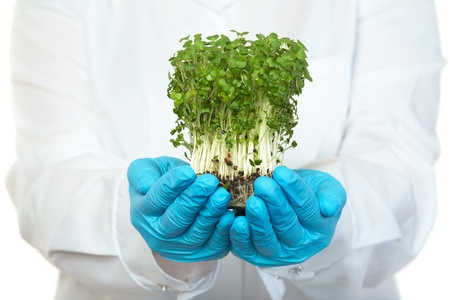 food science: scientist holds small plant in blue rubber safety gloves, isolated on white