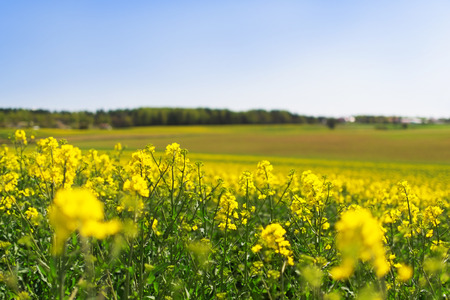 landsape: Yellow rape flowers with a countryside landsape in background
