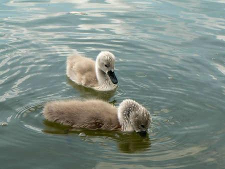 cosily: little swam