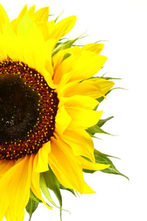 sunflower with green leaves. Isolated over white background Stock Photo