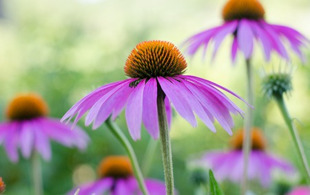 Echinacea purple. A perennial plant of the Asteraceae family. Medicinal flower to enhance immunity. Selective focus. August