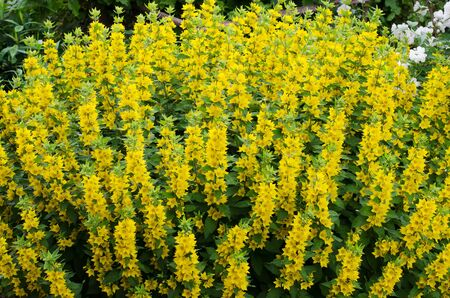 Lysimachia vulgaris or yellow Loosestrife. Many bright blooming flowers in the garden. Summer, July, noon 写真素材
