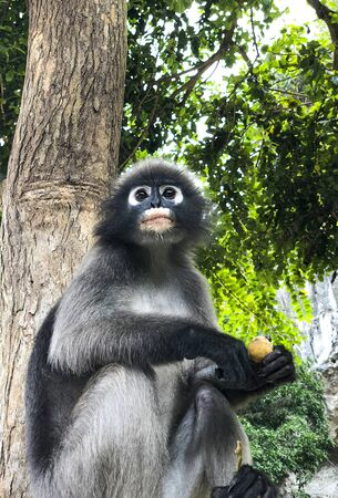 Dusky leaf monkey(Trachypithec us obscurus) sitting on a tree While eating a refreshing morning atmosphere