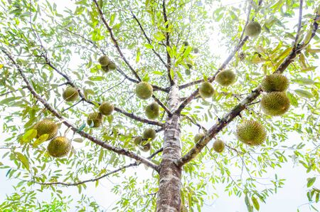 Durian tree, Fresh durian fruit on tree, Durians are the king of fruitsin Thailand , Tropical of asian fruit.