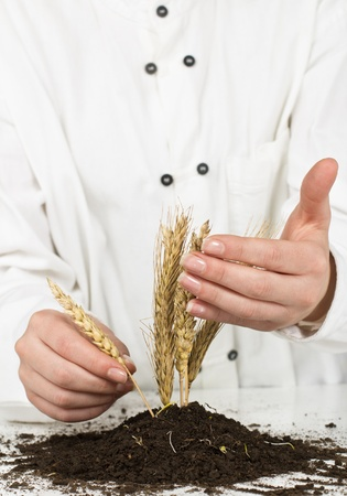 Human hand take care about wheat. photo