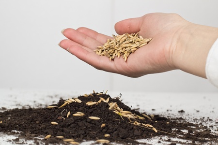 Human hand planting of wheat. photo