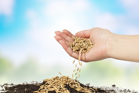 Human hand planting of wheat over nature background. photo