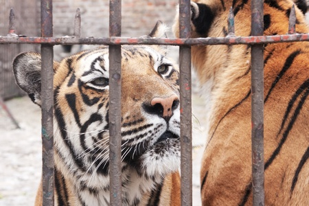 Portrait of captivity animal, tiger in cage. photo