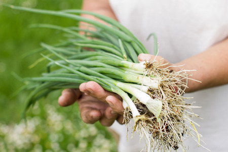 green onion: Farmer woman hands holding bunch of spring onions.