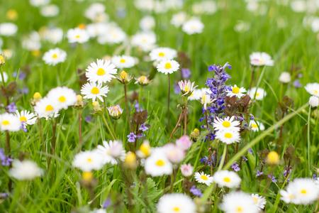 pâquerette: Marguerites printemps fleurs à belle journée ensoleillée.