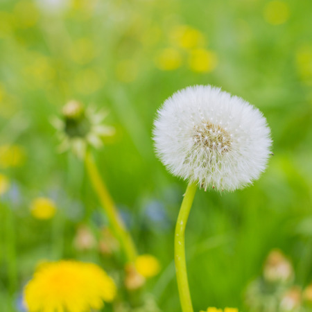 Spring Flowers Dandelions at beautiful sunny day.