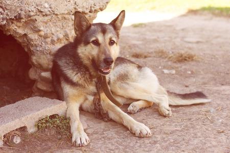 domestic: Domestic dog