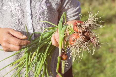 cebollas: Granjero de la mujer mano que sostiene las cebollas jóvenes orgánicos frescos. Foto de archivo