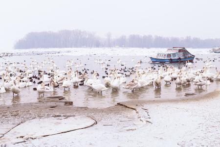 frozen winter: Swans family in winter season on frozen ice river. Stock Photo